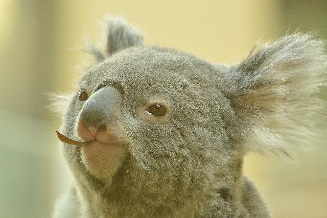 動物占いでオオカミとコアラのカップルの今年の相性は?女同士の場合の相性は?