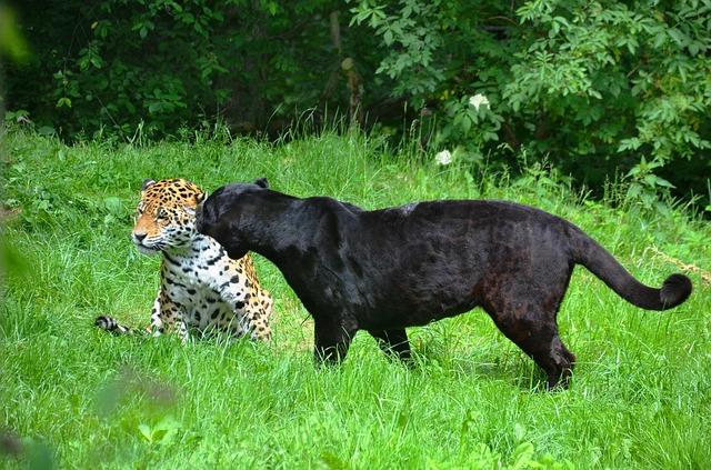 【動物占い】立場にこだわる黒ヒョウなあなたはリーダーに向いていますが、ガラスのハートの持ち主です。